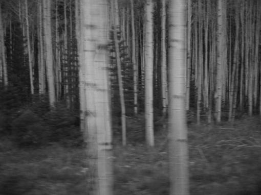 Birch and evergreen