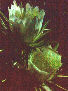 In my garden for one night only, 12 night blooming cereus flowers like these