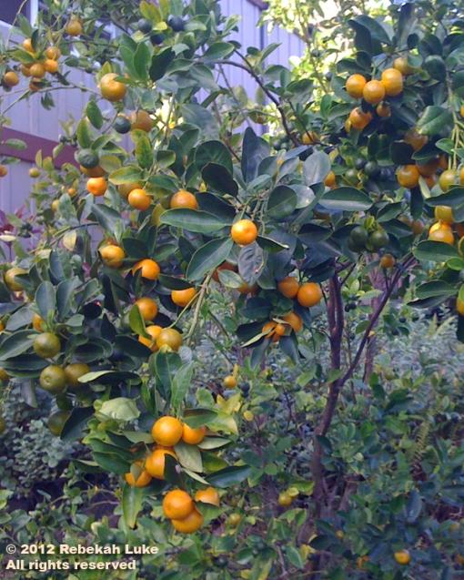 calamansi crop 2012