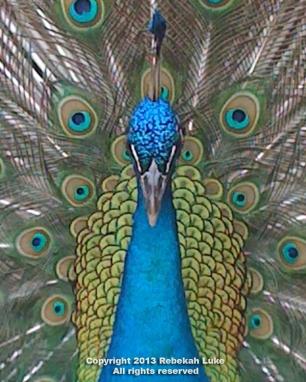 peacockheadshot
