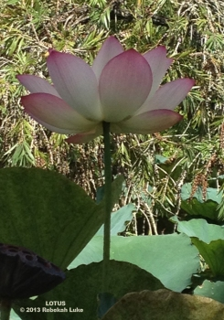 Lotus at Buddha Buddha ©2013 Rebekah Luke