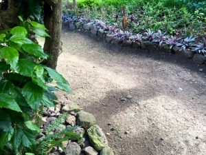 Detail of garden path. After the mature hibiscus hedge (left) was trimmed to half its height, the tops were made into cuttings to form a new 25-foot-long hedge (top of photo).