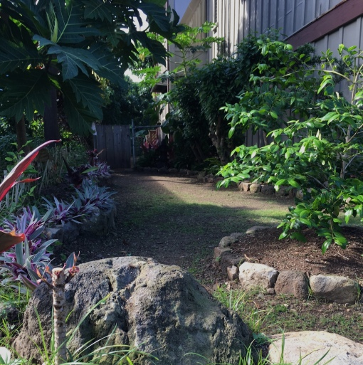 Mauka side yard has a new, curving rock border with a cascading variegated green/white/purple cover in front of a new red hibiscus hedge that will grown up like the mature hedge on the right against the wall. Upper left: breadfruit tree. Middle right: alahe'e tree. Foreground: a sitting rock.